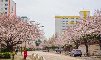 韓國釜山櫻花季節2020賞櫻指南